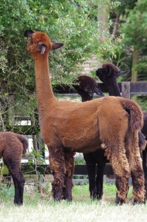 Churchfield Alpacas on YouTube