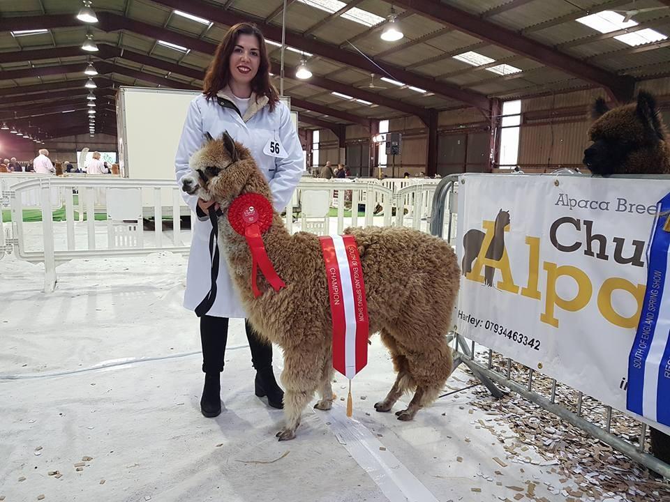 South of England Alpaca show 2017