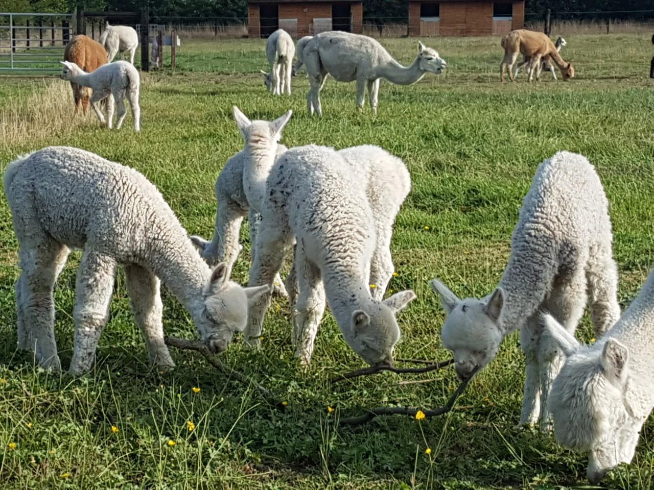 Churchfield Alpacas 2019